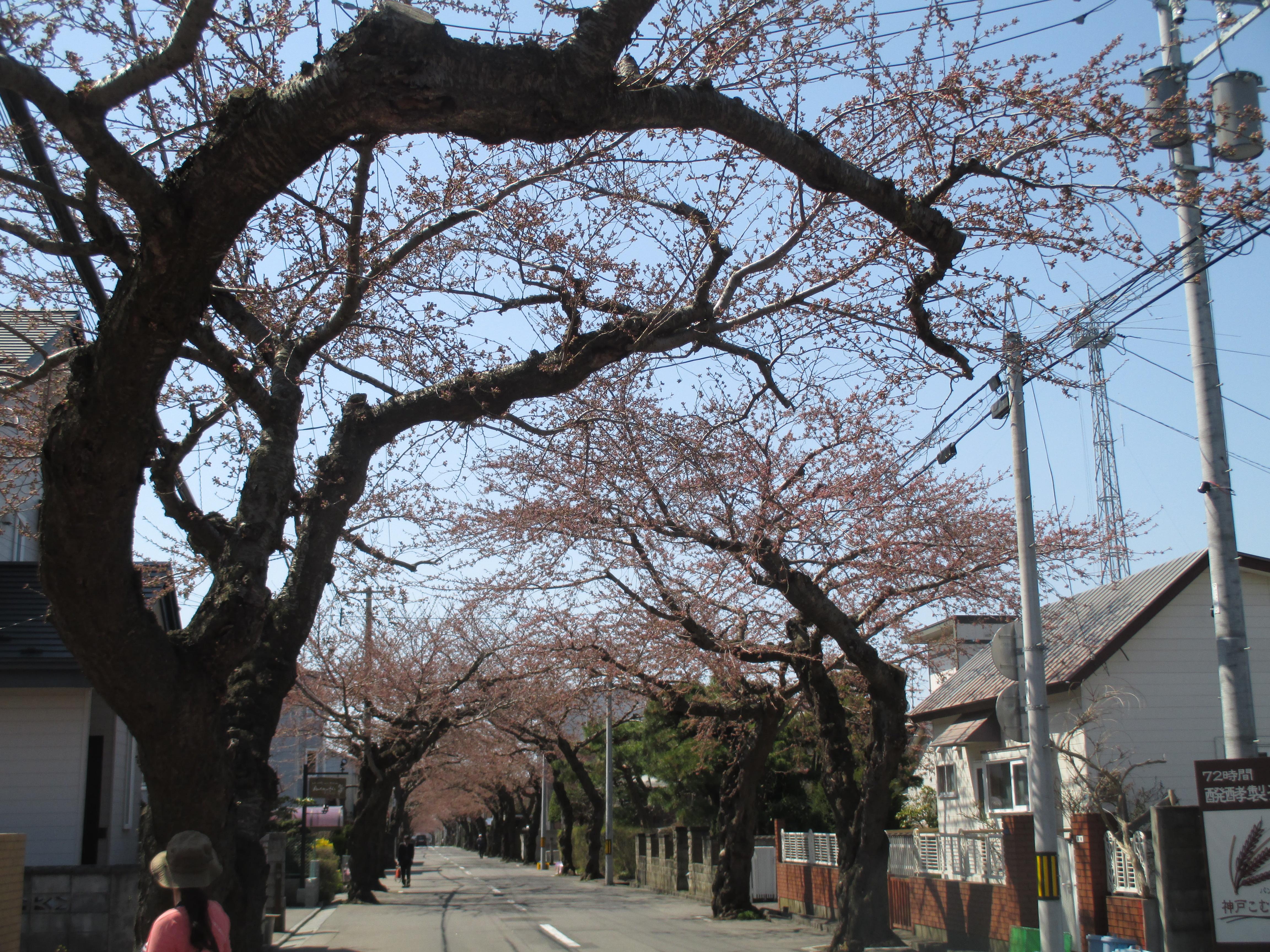 桜のトンネルまでお散歩に行ったよ♪